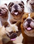 jmarcoz-family-portrait-bulldog