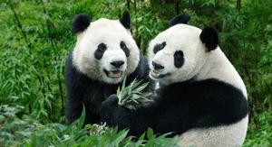jia-kai-panda-singapore